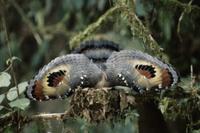 巣の中から敵を脅すジャノメドリ