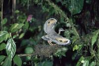 巣の中から敵を脅すジャノメドリのヒナ