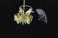 花に飛んで来たアンダーウッドシタナガコウモリ