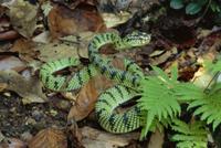 低地の降雨林で威嚇姿勢をとるハブの仲間