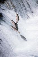 産卵期に川を上るベニザケ