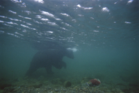 川の中のアラスカヒグマとベニザケ 32258004650| 写真素材・ストックフォト・画像・イラスト素材|アマナイメージズ