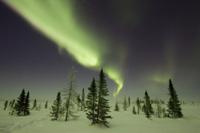 北方林のツンドラ(凍土)とホワイトスプルース(マツ科トウヒ属