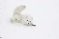 雪の上に転がるホッキョクギツネ