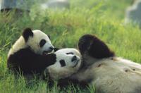 草の上で遊ぶジャイアントパンダのメスと一歳児
