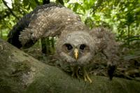 翼を広げて威嚇するまだ飛べないフクロウの仲間の巣立ちビナ