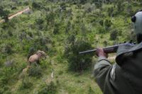 アフリカゾウの母子にヘリコプターから麻酔を打つ(Mwalug 32258004806| 写真素材・ストックフォト・画像・イラスト素材|アマナイメージズ