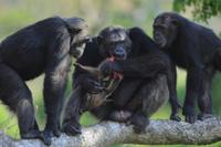 ヒガシチンパンジー(亜種)の優位オスがカワイノシシの子供を仕