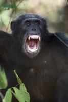 威嚇するヒガシチンパンジー(亜種)のオスの顔 32258004837| 写真素材・ストックフォト・画像・イラスト素材|アマナイメージズ