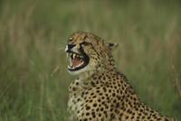 オスに向かって歯をむき出してうなるチーターのメス 32258004845| 写真素材・ストックフォト・画像・イラスト素材|アマナイメージズ