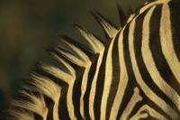 サバンナシマウマ(グラントシマウマ)の首の縞模様