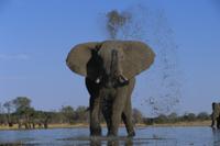 水浴びをするアフリカゾウのオス