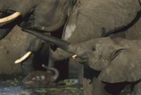 水場で水を飲む母親の口元に鼻をのばすアフリカゾウの子