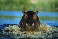 水の中を突進してくるカバの正面顔