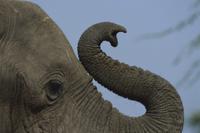 鼻を丸めて持ち上げるアフリカゾウのオス