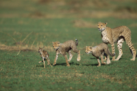 トムソンガゼルの子を与えて、子供たちに狩りの学習をさせるチー