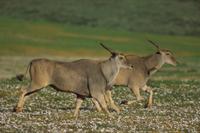 花の咲く草原を走る2頭のイランド(エランド)
