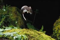 回避行動で跳び上がるシカシロアシマウス