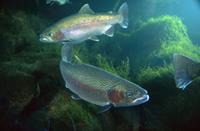 水中のニジマスのペア 32258005012| 写真素材・ストックフォト・画像・イラスト素材|アマナイメージズ