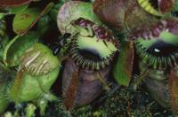 フクロユキノシタの捕虫葉のふちに来たアリ
