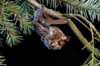 ダグラスファー(ベイマツ)の幹にとまるシモフリアカコウモリ
