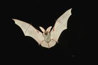 飛翔するマダラコウモリ