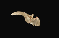 夜、飛翔するサバクコウモリ