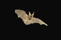 夜、飛翔するアレンオオミミコウモリのメス