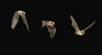 飛翔するアメリカセイブアブラコウモリ