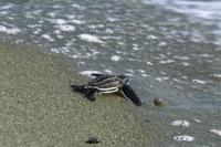 海に入っていく孵化したばかりのオサガメ