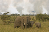 山火事から逃げるアフリカゾウの母子