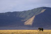 サバンナを歩くアフリカゾウのオス