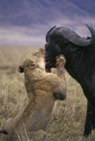 アフリカスイギュウを襲うライオンのメス
