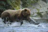 産卵のために遡上してきたサケの仲間を捕えるアラスカヒグマ(コ