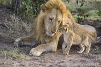 オスの成獣に近づく生後7−8週間のライオンの子供