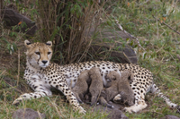 生後9日のチーターの赤ちゃんに授乳する母親