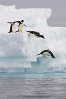氷の海に飛び込むアデリーペンギンのグループ