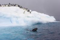 氷山の上のアデリーペンギンの群れとそばを泳ぐヒョウアザラシ 32258005407| 写真素材・ストックフォト・画像・イラスト素材|アマナイメージズ