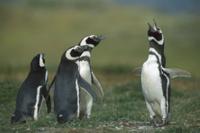鳴き声をあげて威嚇するオスのマゼランペンギン