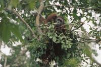 樹上の寝床にいるボルネオオランウータンの若いオス