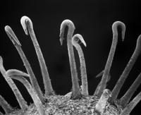 走査型電子顕微鏡によるトゲオナモミの実の表面にある刺