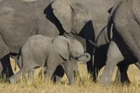アフリカゾウの群れの中の子供