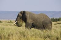 草を食べるアフリカゾウ 32258005647| 写真素材・ストックフォト・画像・イラスト素材|アマナイメージズ