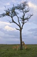 ライオンに追われて木の上に逃げた2頭のヒョウ