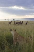 標的を見つめるライオンのメス