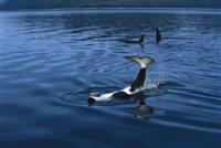 仰向けになって尾で水面をたたくシャチ(オルカ)