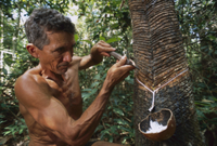 ゴム樹液の採取