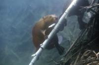 水中で木切れを運ぶアメリカビーバー