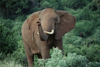 鼻をあげて匂いをかぐアフリカゾウ