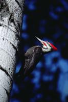 木にとまるエボシクマゲラ